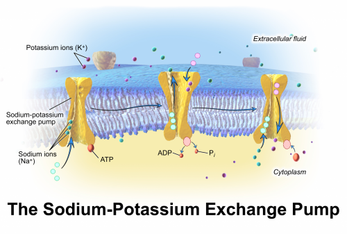 Cellular Physiology: Sodium Potassium Pump